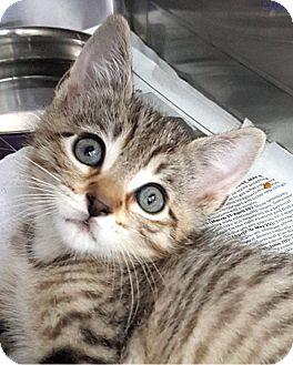 Domestic Shorthair Kitten for adoption in Key Largo, Florida - Joey & dj