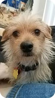 Terrier (Unknown Type, Medium) Mix Dog for adoption in Westminster, Colorado - O'Brien