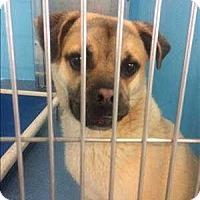 Adopt A Pet :: Mr. Pugs - Encino, CA