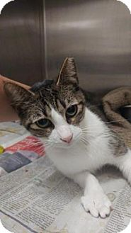 Domestic Shorthair Cat for adoption in Gulfport, Mississippi - KiKi