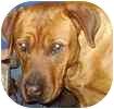 Rottweiler/Labrador Retriever Mix Dog for adoption in Hamilton, Ontario - Cashus