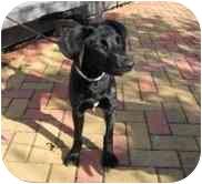Labrador Retriever Mix Dog for adoption in Metairie, Louisiana - LACEY