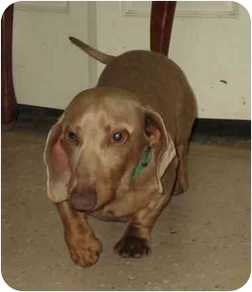 Dachshund Dog for adoption in Fenton, Missouri - RASCAL