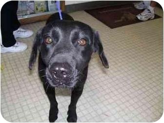 Labrador Retriever Dog for adoption in San Diego, California - BETSY