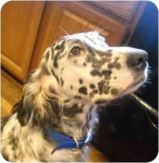 English Setter Dog for adoption in Troy, Michigan - Lady