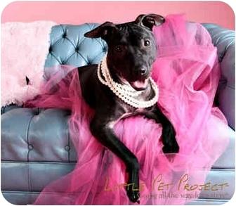 American Pit Bull Terrier/Terrier (Unknown Type, Medium) Mix Dog for adoption in Tampa, Florida - Reba