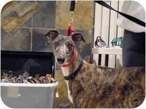 Greyhound Dog for adoption in Walnut Creek, California - ERIN