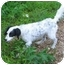Photo 2 - English Setter Dog for adoption in Piedmont, Missouri - Bill