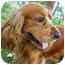Photo 2 - Cocker Spaniel Dog for adoption in Sugarland, Texas - Dax