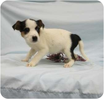 Terrier (Unknown Type, Small) Mix Puppy for adoption in Spruce Pine, North Carolina - Esperanza