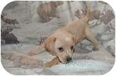 Beagle/Terrier (Unknown Type, Small) Mix Puppy for adoption in Davison, Michigan - Char