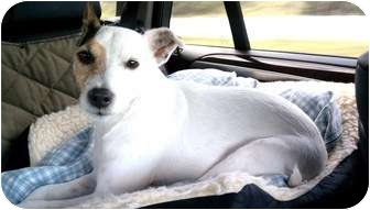 Jack Russell Terrier Dog for adoption in Harrah, Oklahoma - JR