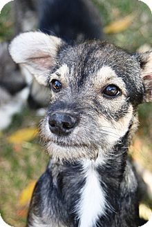Schnauzer (Miniature) Mix Puppy for adoption in Westminster, Colorado - Patrone