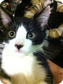 Domestic Shorthair Kitten for adoption in Pittstown, New Jersey - Nitro