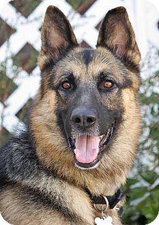 German Shepherd Dog Dog for adoption in Los Angeles, California - Rebel von Roding