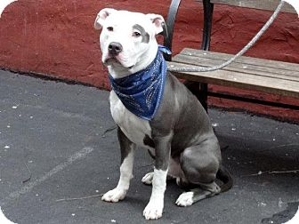 American Pit Bull Terrier Mix Dog for adoption in New York, New York - Bartlett