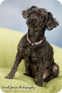 Poodle (Toy or Tea Cup) Dog for adoption in Anchorage, Alaska - Kobie