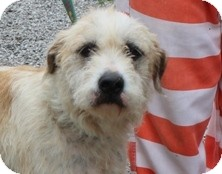 Labradoodle Mix Dog for adoption in Harrisonburg, Virginia - Sophia