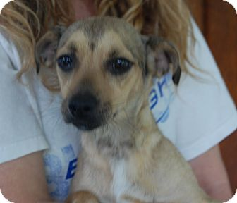 Chihuahua/Terrier (Unknown Type, Medium) Mix Puppy for adoption in Hainesville, Illinois - Starlight