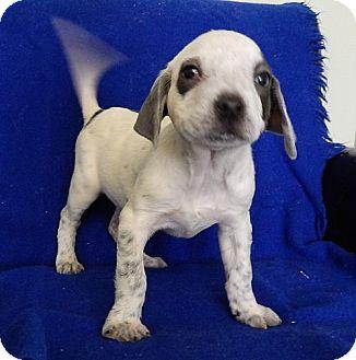 Pointer/Labrador Retriever Mix Puppy for adoption in Hagerstown, Maryland - Saturn