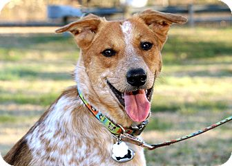 Australian Cattle Dog Mix Dog for adoption in Salem, New Hampshire - SKIPPER