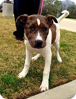 Catahoula Leopard Dog Mix Puppy for adoption in Lake Worth, Texas - Kimber