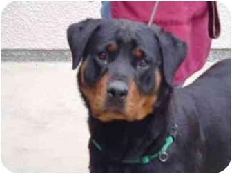 Rottweiler Dog for adoption in Alpine, California - Susan