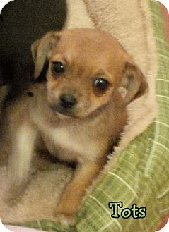 Chihuahua/Dachshund Mix Puppy for adoption in Lincoln, Nebraska - TOTS