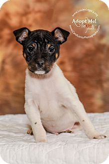 Jack Russell Terrier/Toy Fox Terrier Mix Puppy for adoption in Cincinnati, Ohio - Captain Hook