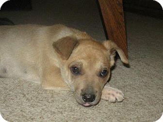 Redbone Coonhound/Shepherd (Unknown Type) Mix Puppy for adoption in Point Pleasant, Pennsylvania - WYATT-PENDING ADOPTION