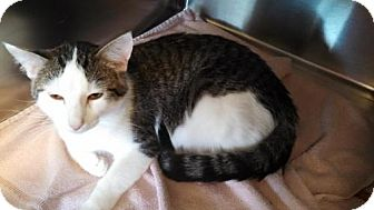 Domestic Shorthair Cat for adoption in Maquoketa, Iowa - Ripple