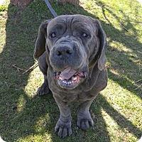 Adopt A Pet :: Jazzy - Pompton Lakes, NJ