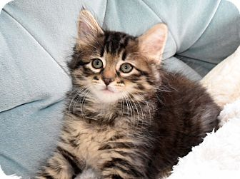 Maine Coon Kitten for adoption in Bristol, Connecticut - Chewy