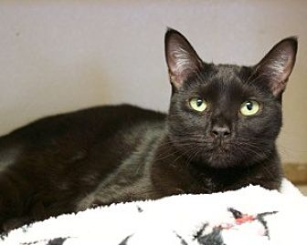 Domestic Shorthair Cat for adoption in Orland, California - Brodie - Willows group
