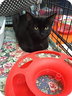 Domestic Shorthair Cat for adoption in Clay, New York - Mikey &Zoey