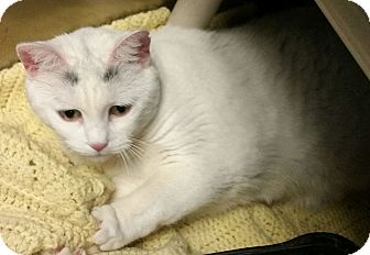 Domestic Shorthair Cat for adoption in Union, New Jersey - Charcoal