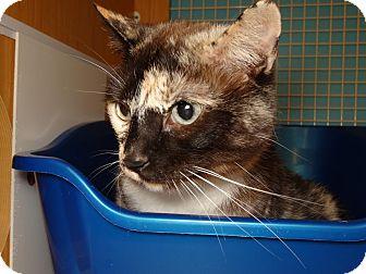 Domestic Shorthair Cat for adoption in Manhattan, Kansas - Lamp