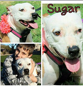 Pit Bull Terrier/American Bulldog Mix Dog for adoption in Gilbert, Arizona - Sugar