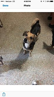 Beagle Mix Dog for adoption in Fort Lauderdale, Florida - Buddy
