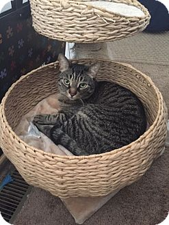 Domestic Shorthair Cat for adoption in Sterling Hgts, Michigan - Julius (active and loving  boy