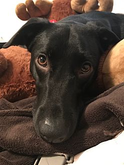 Labrador Retriever/Australian Cattle Dog Mix Dog for adoption in Woodstock, Georgia - Taz