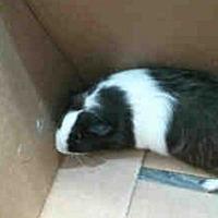 Adopt A Pet :: *Urgent* Chirp Chirp - Fullerton, CA