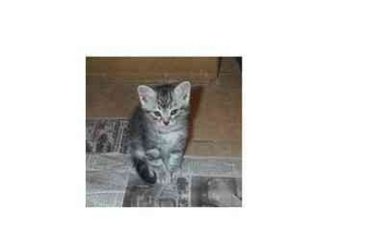 Domestic Shorthair Kitten for adoption in San Diego/North County, California - Dusty