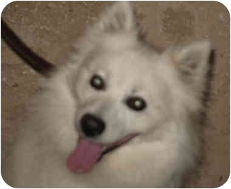 American Eskimo Dog Dog for adoption in Carrollton, Texas - Amber