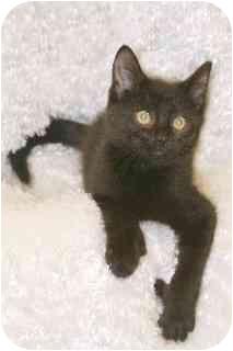 Polydactyl/Hemingway Kitten for adoption in Hendersonville, Tennessee - Mandy