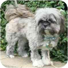 Shih Tzu Dog for adoption in Osseo, Minnesota - Bailey