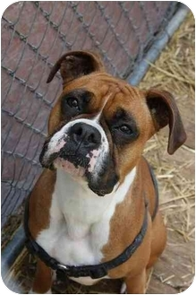 Boxer Dog for adoption in Waterloo, New York - Rue
