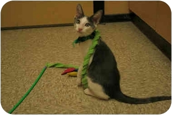 Domestic Shorthair Kitten for adoption in Orlando, Florida - Gregory