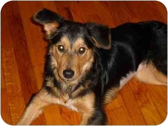 Collie/Shepherd (Unknown Type) Mix Dog for adoption in Haughton, Louisiana - Cricket