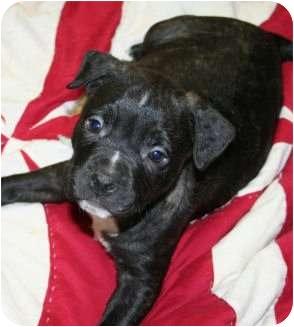Mastiff/Labrador Retriever Mix Puppy for adoption in Burr Ridge, Illinois - Curley